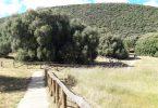 olivastri millenari