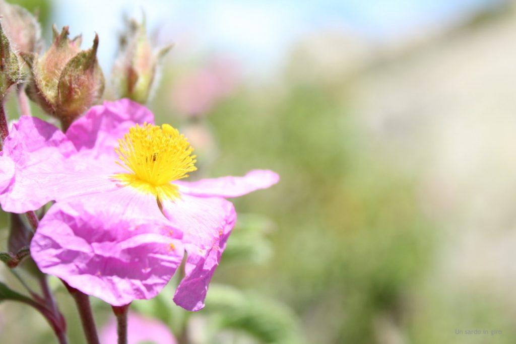 cisto fiore rosa